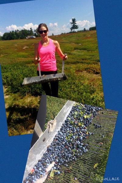 Hand raking wild blueberries in Maine